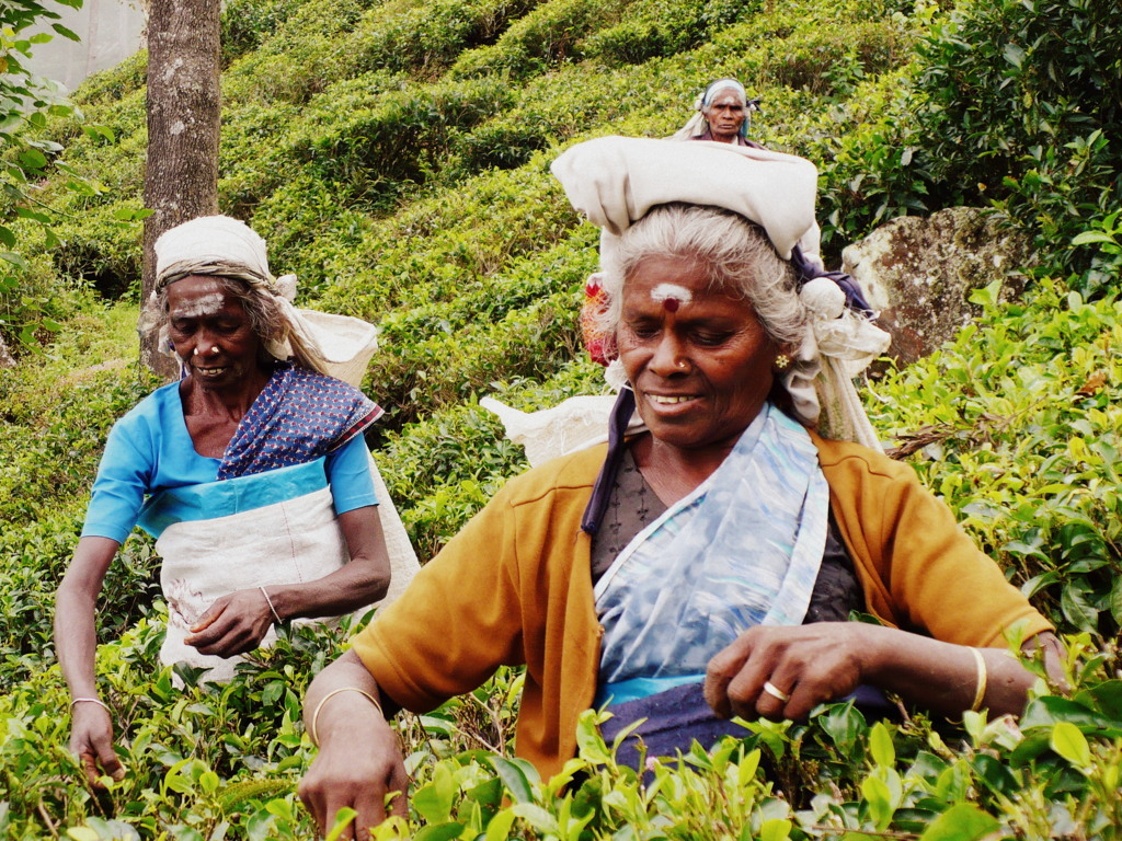 haputale cueillette rizieres femme thé