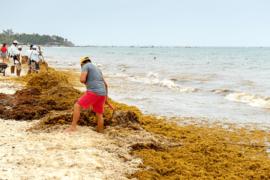 Playa Del Carmen: les barrières anti-sargasses seraient inutiles