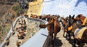 La Grèce interdit aux touristes en surpoids de monter les ânes de Santorin