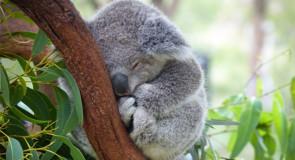 La SPA australienne recherche des volontaires pour nourrir les koalas blessés lors des incendies